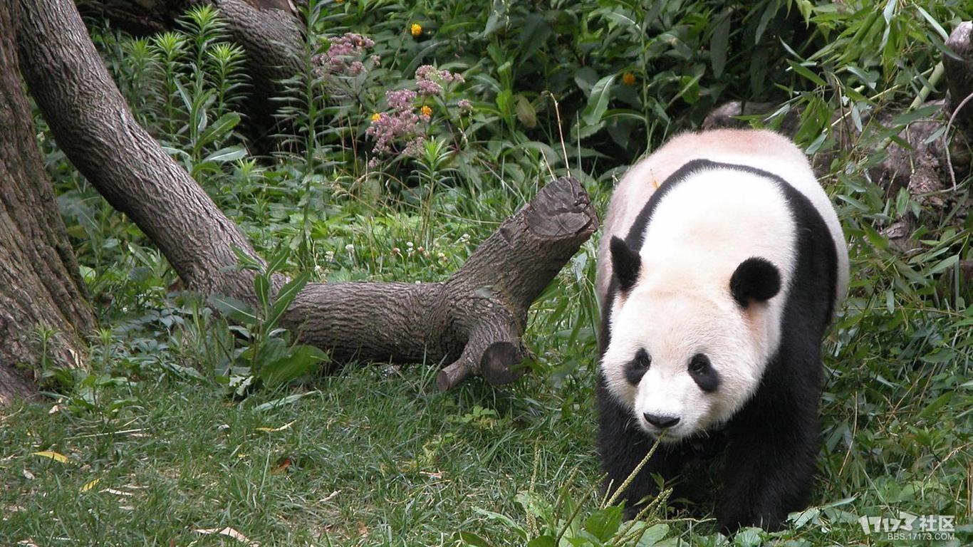 可爱调皮的熊猫