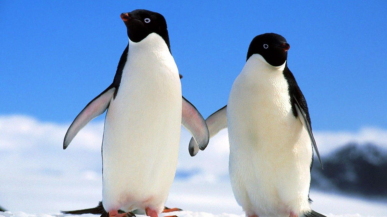 壁纸 动物 企鹅 1600_900