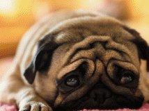 由宠物狗种类看主人地位:富豪都爱养哈巴狗