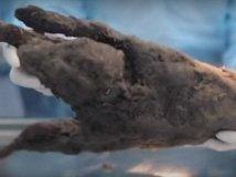 科学家解冻了一头12400年前的小狗,竟想通过克隆让它复活!