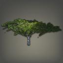 沙漠铁木树