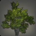黑衣阔叶树